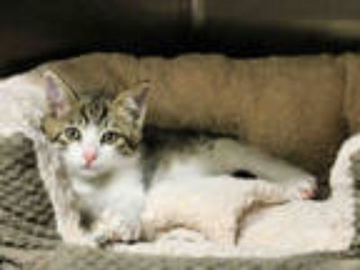 Adopt DELANO a White (Mostly) Domestic Shorthair / Mixed (short coat) cat in San