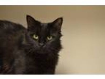Adopt Cristina a Domestic Short Hair, Domestic Medium Hair