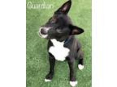 Adopt Guardian a Shepherd, Border Collie