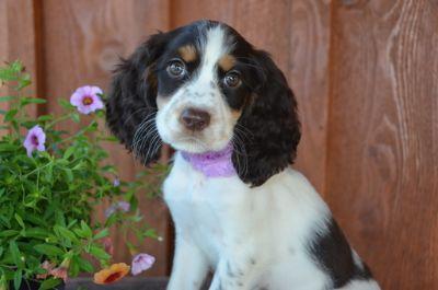 English Springer Spaniel PUPPY FOR SALE ADN-83682 - Gorgeous AKC English Springer Spaniel Puppies