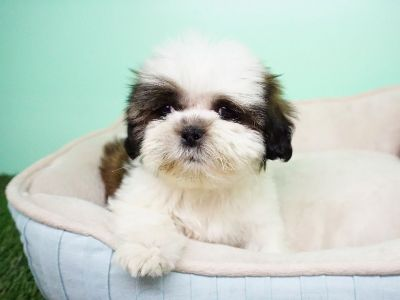 Shihtzu Puppy – Male - Roger ($1200)