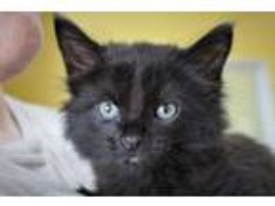 Adopt Madeline a Domestic Medium Hair