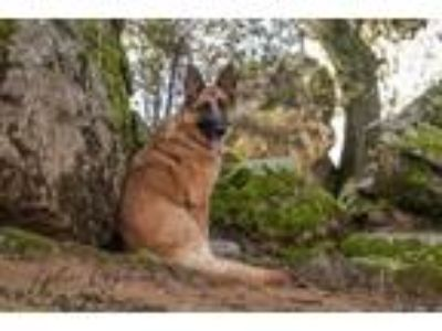 Adopt Saphira a German Shepherd Dog