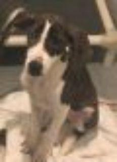 Noodle Boxer - Pointer Dog
