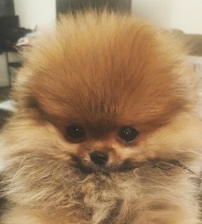 Pomeranian PUPPY FOR SALE ADN-108850 - Pomeranian Little Bear