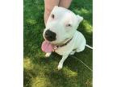 Adopt Maggie a White - with Black American Pit Bull Terrier dog in Lake Geneva