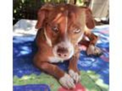 Adopt Disco a Brown/Chocolate - with White Beagle / Dachshund / Mixed dog in La