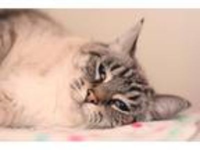 Adopt LEXI a Gray, Blue or Silver Tabby Domestic Shorthair (short coat) cat in