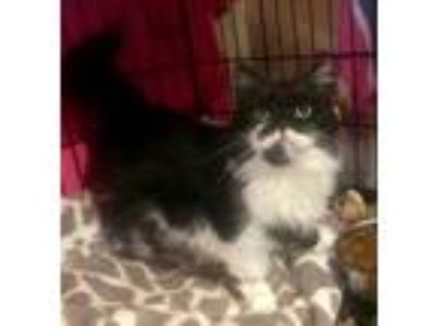 Adopt Catsby a Black & White or Tuxedo Persian cat in Mount Laurel