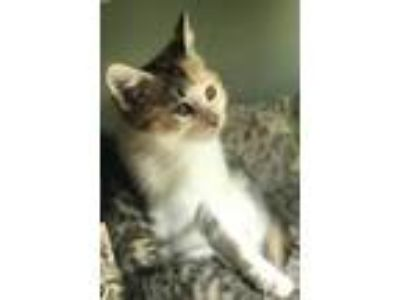 Adopt Angelica a White Domestic Shorthair / Mixed cat in Merriam, KS (25917265)
