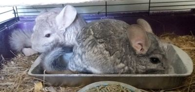 "3-4 Year Old Beige & Standard Grey Male Chinchillas -- ""Boogie"" & ""BJ"""