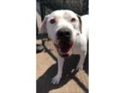 Adopt Harlie a Pit Bull Terrier