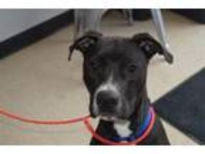 Adopt MACK a Pit Bull Terrier, Mixed Breed