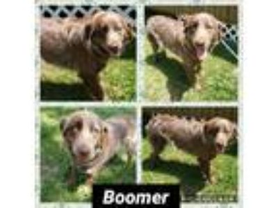 Adopt Boomer a Brown/Chocolate Australian Shepherd / German Shorthaired Pointer