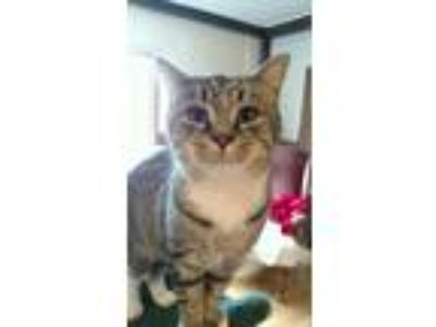Adopt Tiger Lilly a Brown Tabby Domestic Shorthair (short coat) cat in Salem