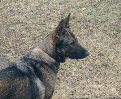 AKC German Shepherd female for sale.
