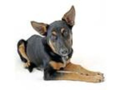 Adopt Cameron a German Shepherd Dog