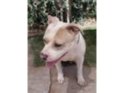 Adopt Linus a White - with Tan, Yellow or Fawn American Pit Bull Terrier /