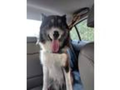 Adopt Zach a Black - with White Border Collie / Husky / Mixed dog in