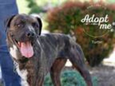Adopt Turtle a Brindle Boxer / Pit Bull Terrier / Mixed dog in Salt Lake City
