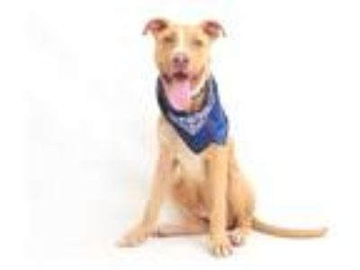 Adopt ELI a Tan/Yellow/Fawn - with White Pointer / Mixed dog in Orlando