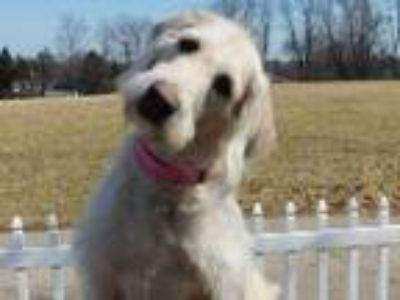 Adopt Maddy a White Labrador Retriever / Poodle (Standard) / Mixed dog in