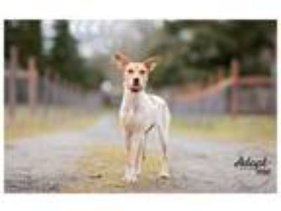 Adopt Hallow a Australian Cattle Dog / Blue Heeler