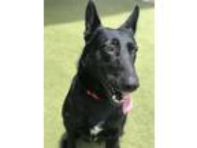 Adopt Raya a German Shepherd Dog / Mixed dog in Birmingham, AL (25868899)