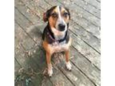 Adopt Cossett a Hound, Beagle