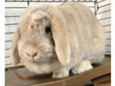 Adopt Avail.6/14 Auggie 2 years NO KIDS a Lop-Eared / Mixed rabbit in Sterling