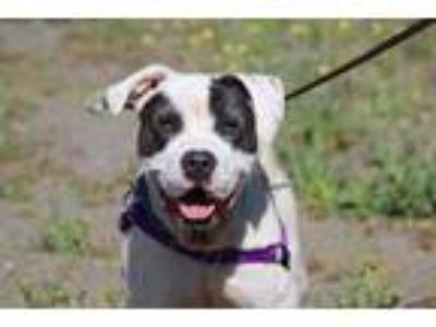 Adopt Zeus a American Pit Bull Terrier / Mixed dog in Escondido, CA (25038231)
