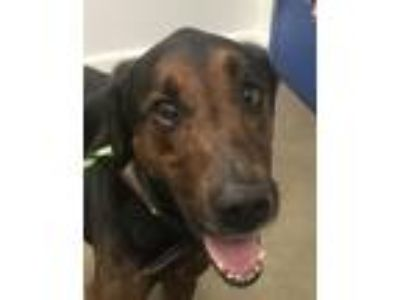 Adopt Jake a Doberman Pinscher, Golden Retriever