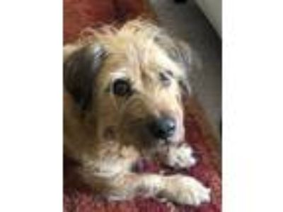 Adopt Harvey a Tan/Yellow/Fawn - with White Terrier (Unknown Type