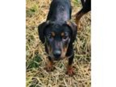 Adopt Relish a Black Beagle / Mixed dog in West Allis, WI (25578943)