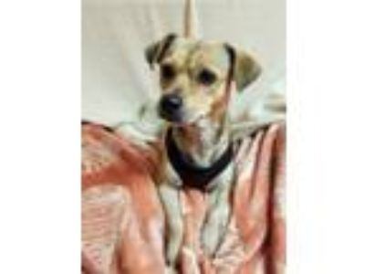 Adopt Fred a Tricolor (Tan/Brown & Black & White) Pug / Jack Russell Terrier /
