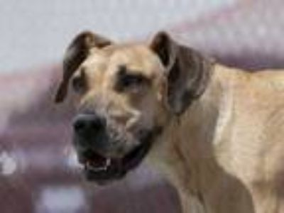 Adopt Sophie a Tan/Yellow/Fawn Great Dane / Mixed dog in Colorado Springs