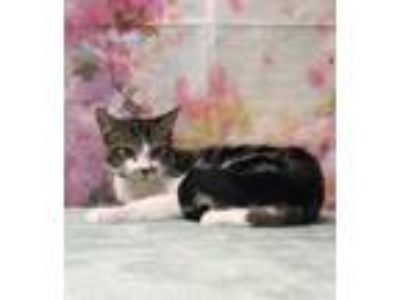 Adopt Jig a Domestic Short Hair