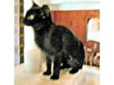 Adopt Happy a All Black Domestic Shorthair / Mixed (short coat) cat in