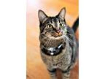 Adopt Mr. Dude a Brown Tabby Domestic Shorthair (short coat) cat in Knoxville