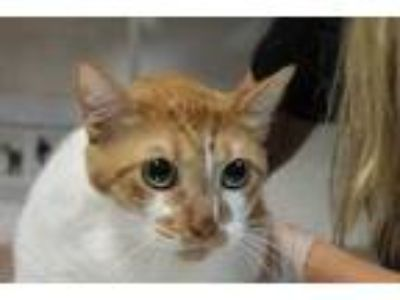 Adopt BoBo Kitty a Orange or Red Domestic Shorthair / Domestic Shorthair / Mixed