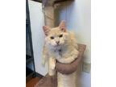 Adopt Ivan a Orange or Red Domestic Longhair / Domestic Shorthair / Mixed cat in
