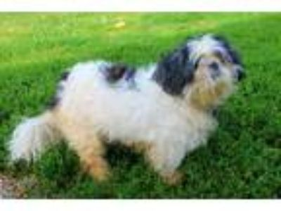 Adopt GABBY a Black - with White Shih Tzu / Mixed dog in Louisville