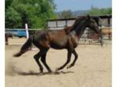 smokey black Lusitano filly amazing bloodlines see comments below
