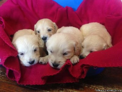 hfg Golden retriever puppies for sale
