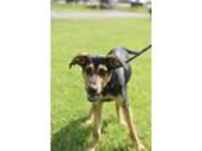 Adopt Mileena a German Shepherd Dog, Doberman Pinscher