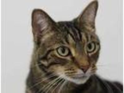 Adopt Avery a All Black Domestic Shorthair / Domestic Shorthair / Mixed cat in