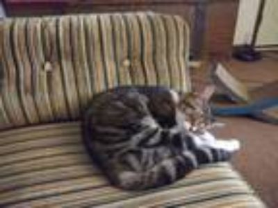 Adopt Samantha a Tiger Striped American Shorthair / Mixed cat in Lilburn