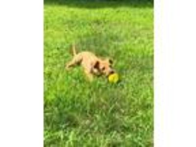 Adopt Ginger a Terrier