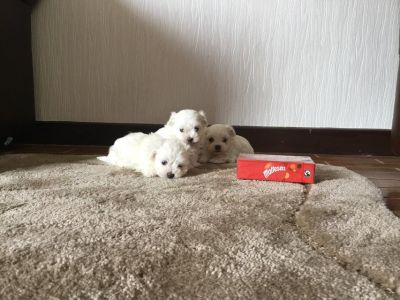 3 Teacup Maltese Puppies available Now