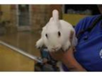 Adopt SPARKLE a White Other/Unknown / Mixed rabbit in Dallas, TX (25691034)